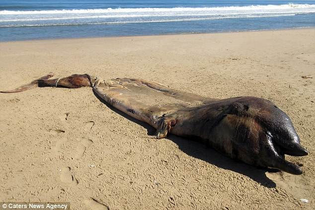 Bí ẩn sinh vật nửa cá voi - nửa cá heo ở biển Namibia khiến các nhà khoa học bối rối - Ảnh 3.