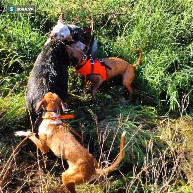 Cuộc chiến đẫm máu giữa lợn rừng và bầy chó săn: Định mệnh khó tránh! - Ảnh 1.