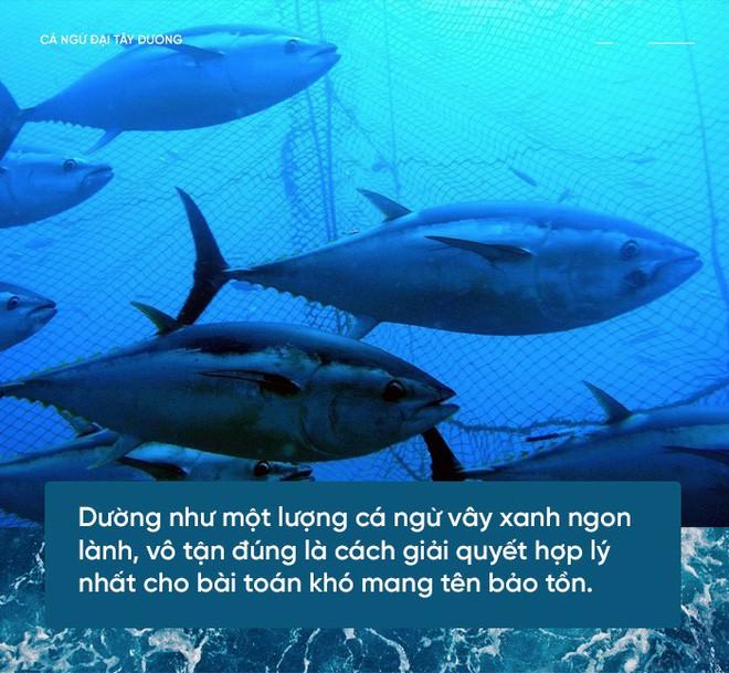 Các nhà khoa học đang thuần hóa cá ngừ vây xanh đang trong diện nguy cấp để có đủ nguyên liệu mà làm sushi - Ảnh 1.