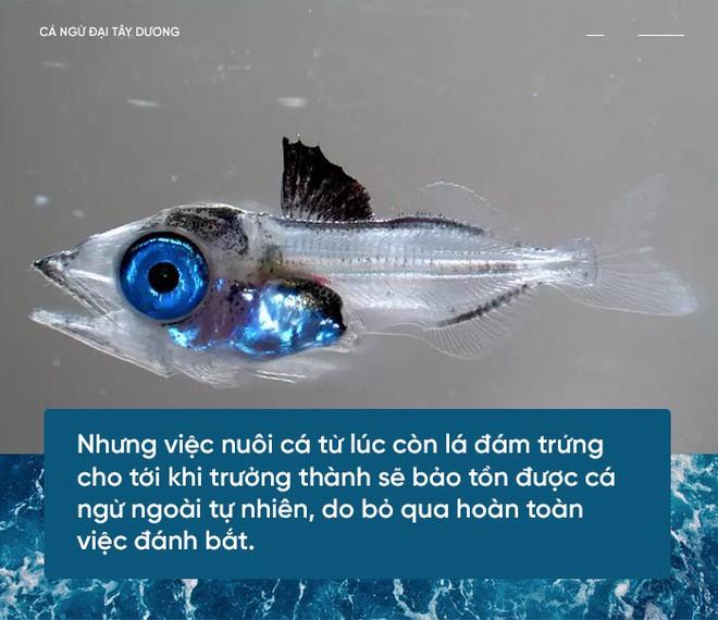 Các nhà khoa học đang thuần hóa cá ngừ vây xanh đang trong diện nguy cấp để có đủ nguyên liệu mà làm sushi - Ảnh 2.