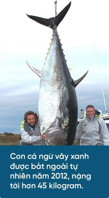Các nhà khoa học đang thuần hóa cá ngừ vây xanh đang trong diện nguy cấp để có đủ nguyên liệu mà làm sushi - Ảnh 5.