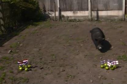 Chú lợn tiên tri bị dọa lên thớt vì dự báo sai về tuyển Anh - Ảnh 1.