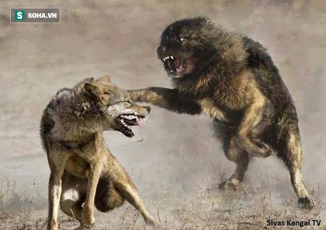 Chó sói độc chiến ác liệt với 6 chó nhà: Kết cục, 5 con còn lại nhìn đồng bọn bị ăn thịt! - Ảnh 1.