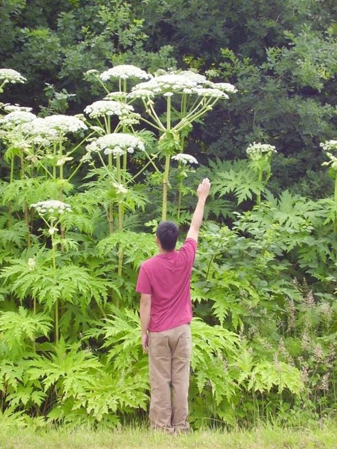 Một trong những loài cây nguy hiểm nhất thế giới đang xâm chiếm nước Mỹ: chạm vào là bỏng như tự thiêu - Ảnh 3.