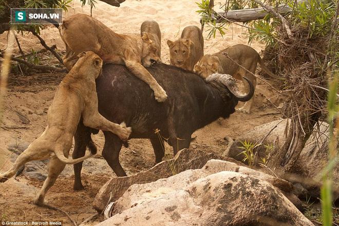 Bị 4 con sư tử cắn xé, trâu rừng thoát chết nhờ vị cứu tinh xuất hiện phút cuối - Ảnh 1.