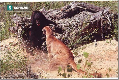 Gấu đen đứng thẳng, sử dụng độc chiêu hạ gục báo sư tử - Ảnh 1.