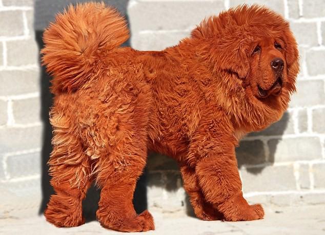 Là một trong những giống chó trung thành bậc nhất, tại sao ngao Tây Tạng vẫn cắn chủ? - Ảnh 1.
