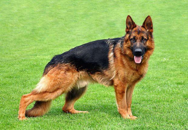 Ngao Tây Tạng nổi tiếng hung dữ nhưng vẫn lép vế trước những giống chó này - Ảnh 8.