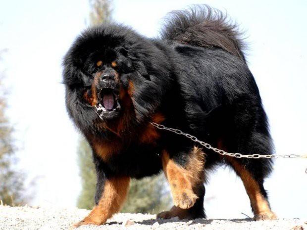 Ngao Tây Tạng nổi tiếng hung dữ nhưng vẫn lép vế trước những giống chó này - Ảnh 9.
