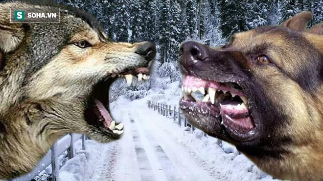 Chó sói đơn độc lạc giữa vòng vây chó nhà: Một quyết định thông minh đã giúp nó thoát chết - Ảnh 1.