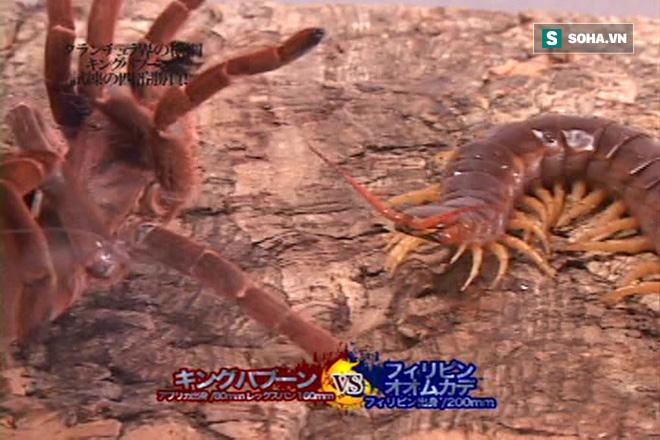 Rết khổng lồ tranh vương với nhện vua: Khi kẻ thua cuộc trở thành thức ăn! - Ảnh 1.
