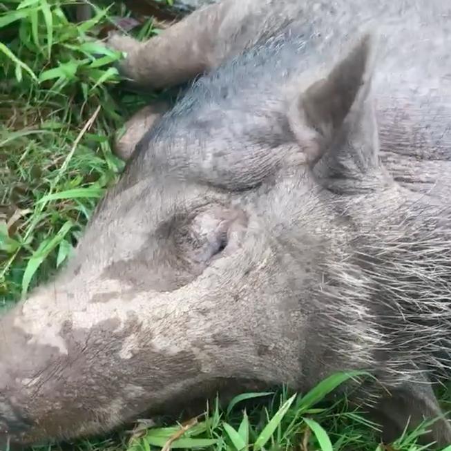 Góc boss khủng: Mua lợn rừng về làm cỗ, chuẩn bị thịt thì biết nó có bầu nên gia đình tự dưng có bầy pet độc - Ảnh 2.
