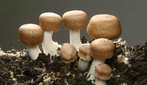 Những loại nấm, rong biển hỗ trợ điều trị ung thư hiệu quả - Ảnh 4.