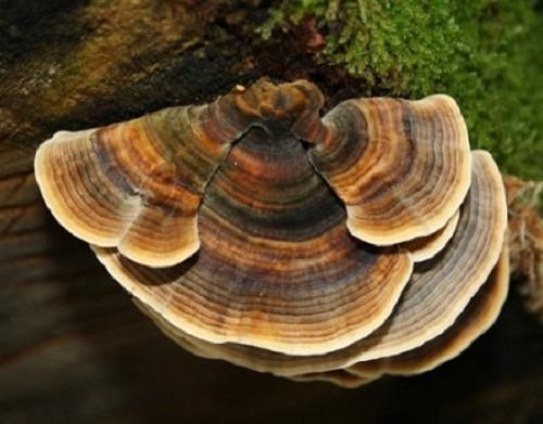 Những loại nấm, rong biển hỗ trợ điều trị ung thư hiệu quả - Ảnh 7.