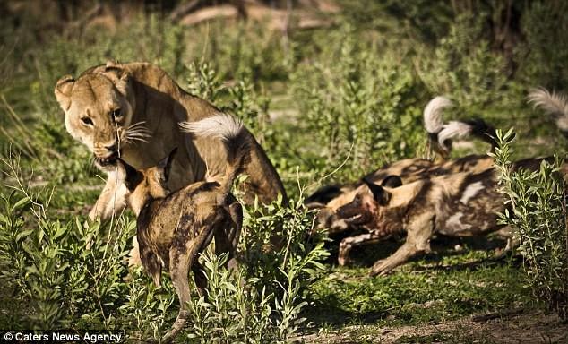 Chó hoang chẳng ngán gì sư tử nếu đủ số lượng. Ảnh: Caters News Agency