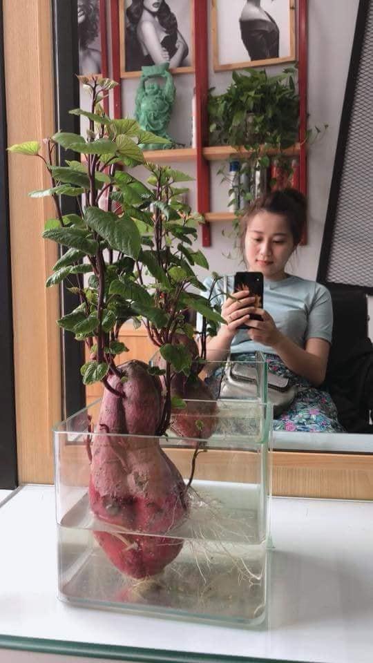 Đam mê bonsai nhưng kinh tế eo hẹp, cô nàng trồng củ khoai lang và đem lại kết quả bất ngờ - Ảnh 3.