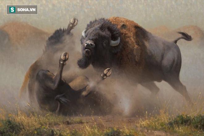Cuộc chiến bò rừng bison. Ảnh: Art Country Canada
