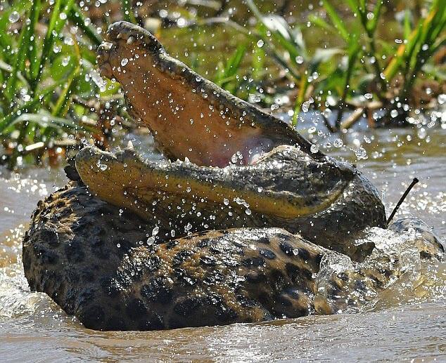 24h qua ảnh: Cuộc tử chiến giữa báo đốm và cá sấu khổng lồ - Ảnh 2.