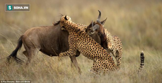 Báo săn thường phối hợp với nhau để hạ gục con mồi lớn. Ảnh: Barcroft Media