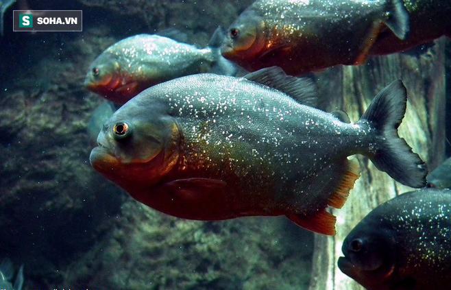Cỗ máy xay thịt Piranha tuy hung hãn nhưng cũng chỉ là mồi ngon của loài vật này - ảnh 1