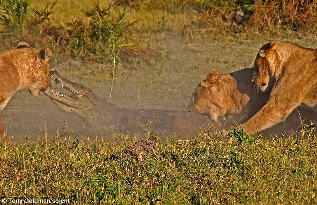 To gan tấn công vua con, cá sấu bị cả nhà sư tử kéo đến trả thù - Ảnh 3.