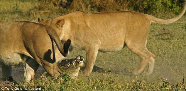 To gan tấn công vua con, cá sấu bị cả nhà sư tử kéo đến trả thù - Ảnh 5.