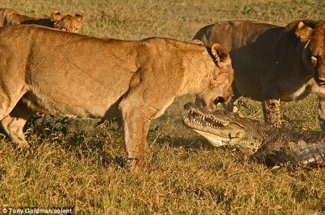 To gan tấn công vua con, cá sấu bị cả nhà sư tử kéo đến trả thù - Ảnh 6.