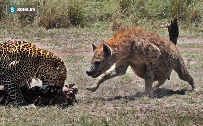 Đang có bữa ăn ngon, 2 con báo hoa mai bỏ của chạy lấy người vì một con linh cẩu - Ảnh 1.