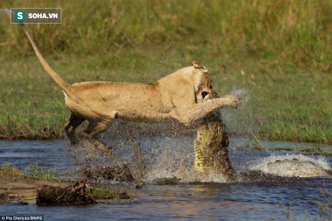 Sư tử cái dũng mãnh phi thân xuống sông, ngoạm vào mõm cá sấu để bầy băng qua sông - Ảnh 1.