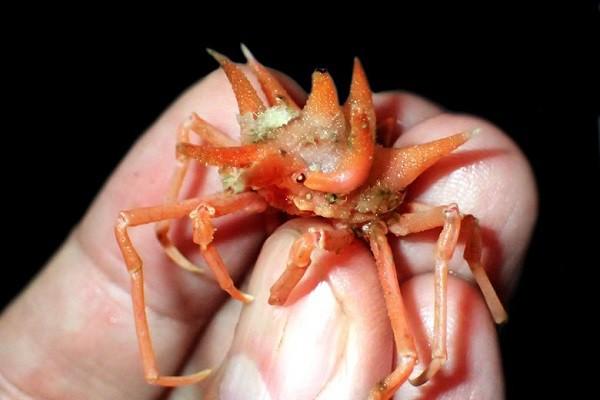 Kỳ dị 12 loài giáp xác mới được phát hiện dưới đáy biển sâu - Ảnh 2.