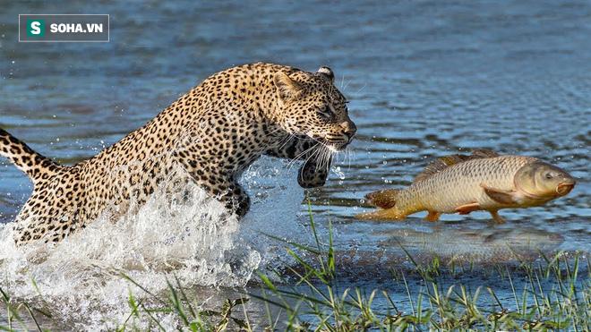 Báo săn cả cá để ăn thịt. Ảnh: Leopard - Cheetah Channel Tv
