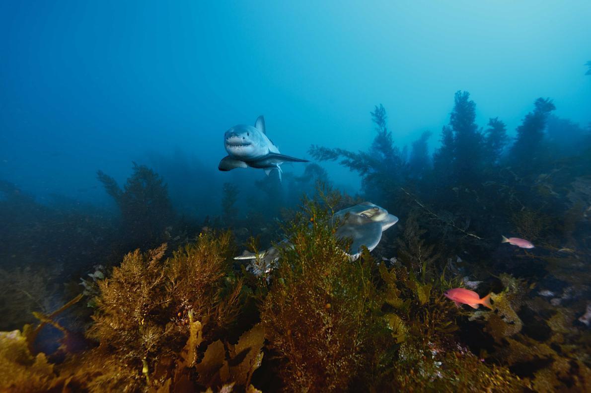 Con cá rất đẹp đột ngột mất tích và cuộc săn tìm đàn cá mập trắng lớn nhất thế giới - Ảnh 12.