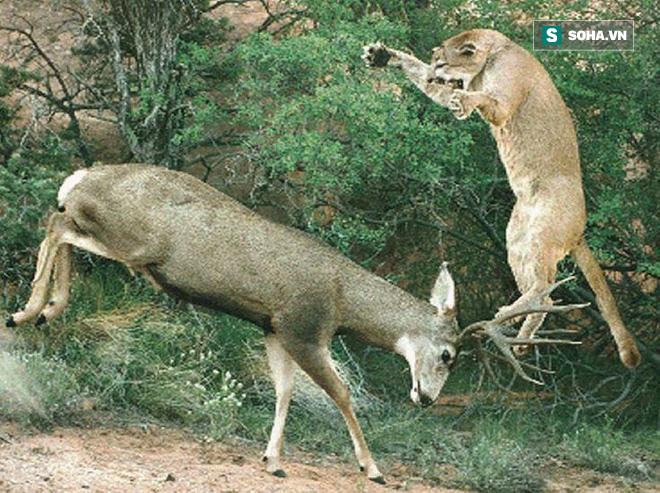 Sẽ ra sao nếu báo sư tử tặng hươu đực một nụ hôn thần chết? - Ảnh 1.