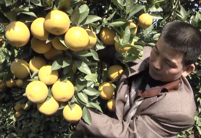 Cây cam quý ra hơn 1000 trái, đạt khoảng 3 tạ ở Nghệ An - Ảnh 5.