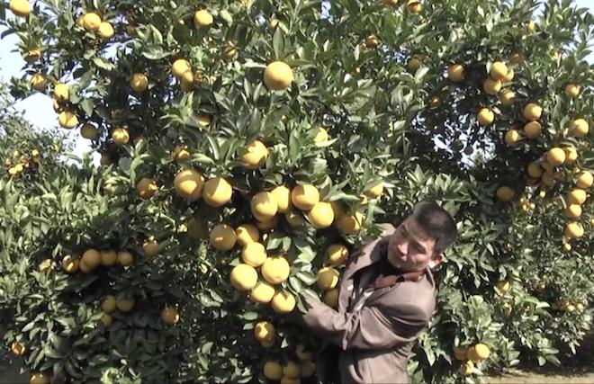 Cây cam quý ra hơn 1000 trái, đạt khoảng 3 tạ ở Nghệ An - Ảnh 6.