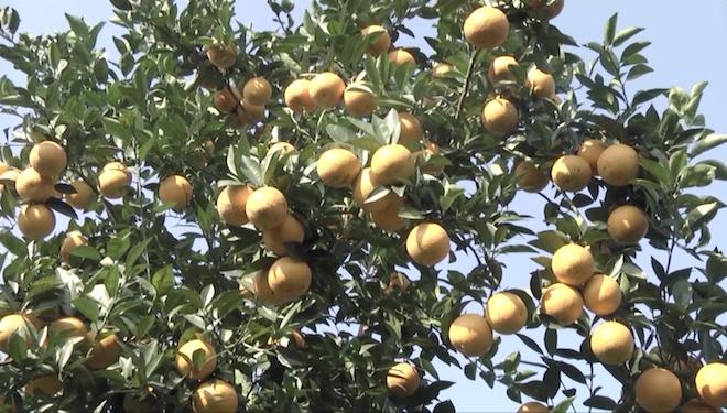 Cây cam quý ra hơn 1000 trái, đạt khoảng 3 tạ ở Nghệ An - Ảnh 3.