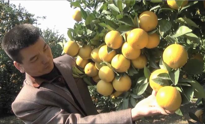 Cây cam quý ra hơn 1000 trái, đạt khoảng 3 tạ ở Nghệ An - Ảnh 7.