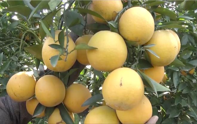 Cây cam quý ra hơn 1000 trái, đạt khoảng 3 tạ ở Nghệ An - Ảnh 9.