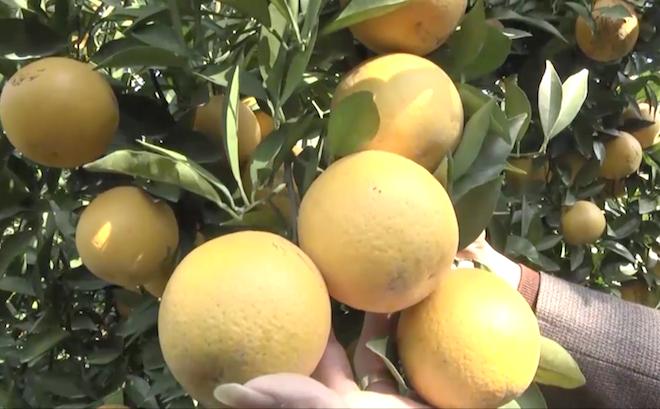 Cây cam quý ra hơn 1000 trái, đạt khoảng 3 tạ ở Nghệ An - Ảnh 8.