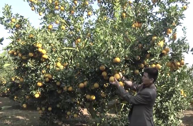 Cây cam quý ra hơn 1000 trái, đạt khoảng 3 tạ ở Nghệ An - Ảnh 2.