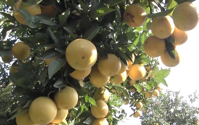 Cây cam quý ra hơn 1000 trái, đạt khoảng 3 tạ ở Nghệ An - Ảnh 4.