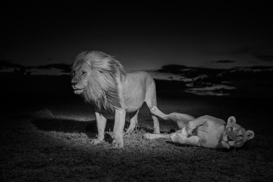 Sư tử diệt sư tử: Cuộc ám sát 3 cắn 1 và sự hồi sinh nghẹt thở của nhà vua - Ảnh 12.