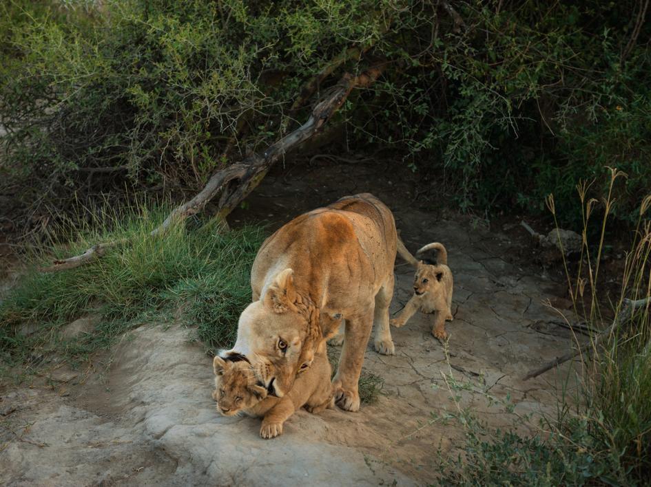 Sư tử diệt sư tử: Cuộc ám sát 3 cắn 1 và sự hồi sinh nghẹt thở của nhà vua - Ảnh 16.