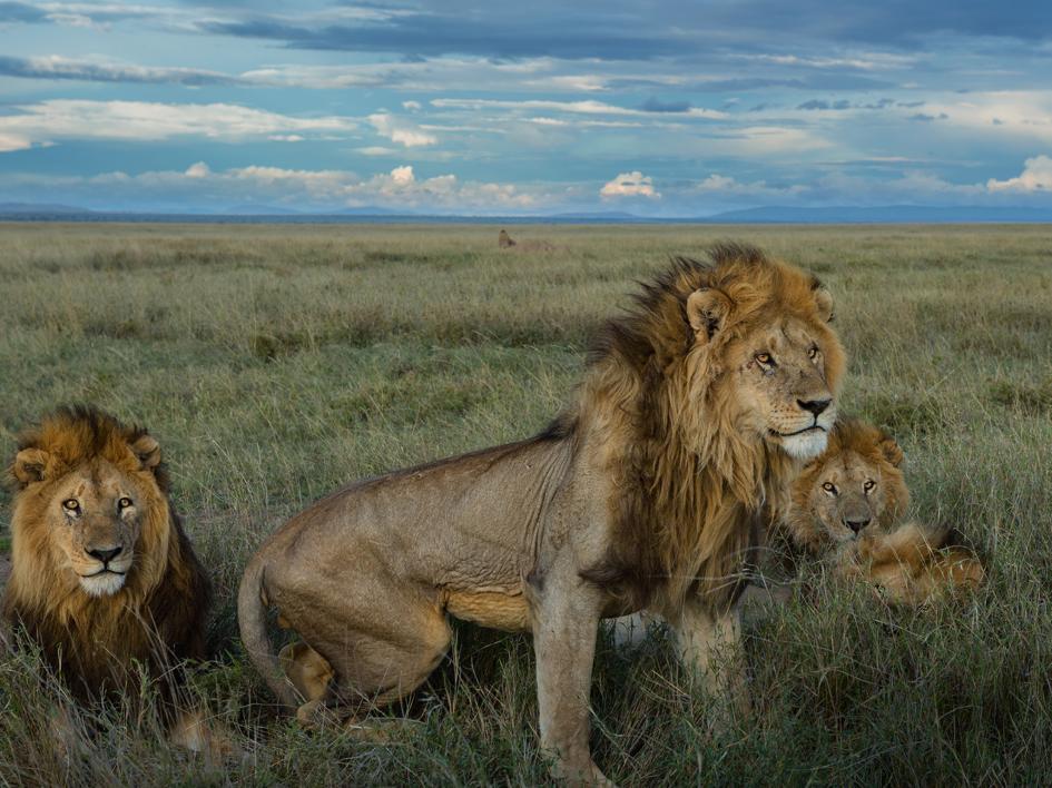 Sư tử diệt sư tử: Cuộc ám sát 3 cắn 1 và sự hồi sinh nghẹt thở của nhà vua - Ảnh 14.