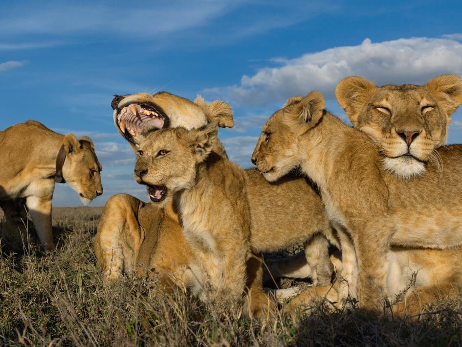 Sư tử diệt sư tử: Cuộc ám sát 3 cắn 1 và sự hồi sinh nghẹt thở của nhà vua - Ảnh 17.