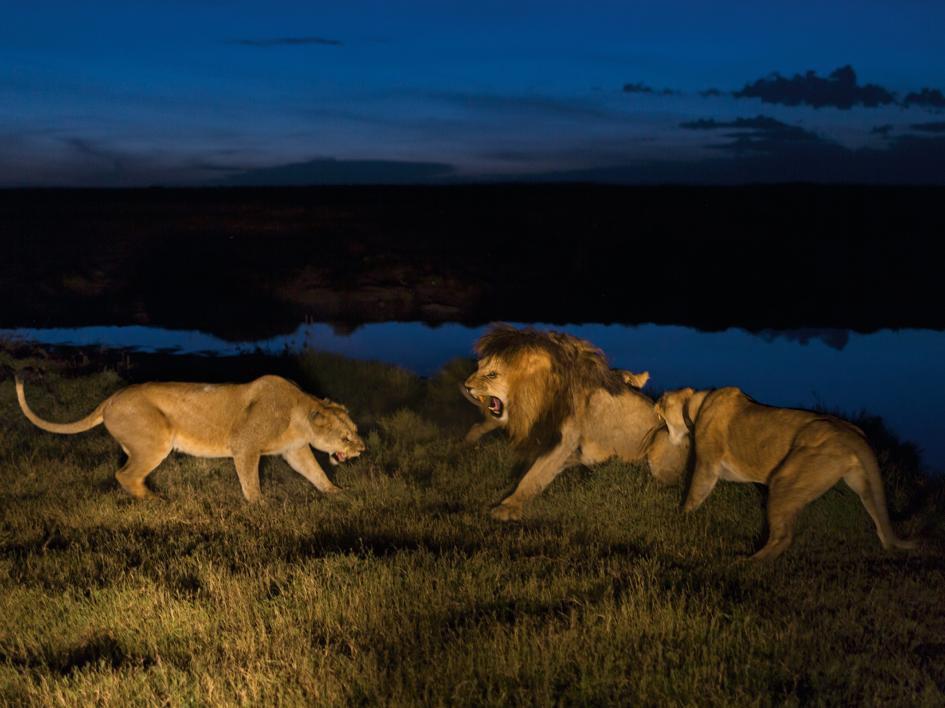 Sư tử diệt sư tử: Cuộc ám sát 3 cắn 1 và sự hồi sinh nghẹt thở của nhà vua - Ảnh 19.