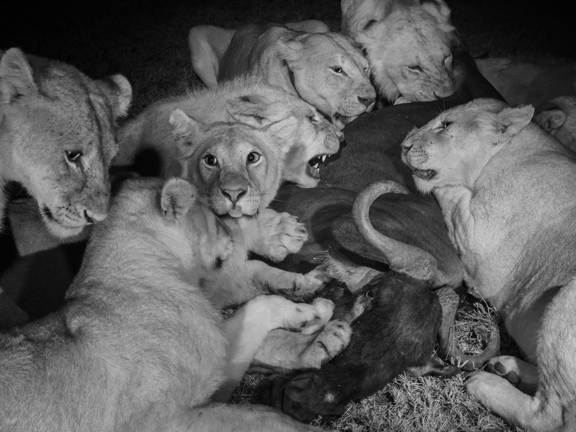 Sư tử diệt sư tử: Cuộc ám sát 3 cắn 1 và sự hồi sinh nghẹt thở của nhà vua - Ảnh 4.