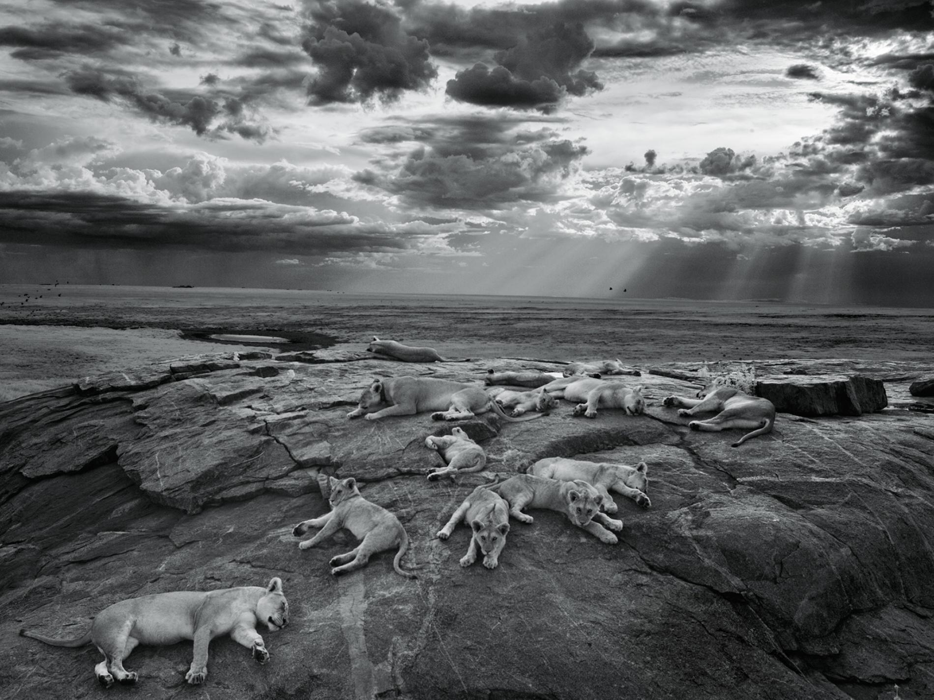 Sư tử diệt sư tử: Cuộc ám sát 3 cắn 1 và sự hồi sinh nghẹt thở của nhà vua - Ảnh 2.