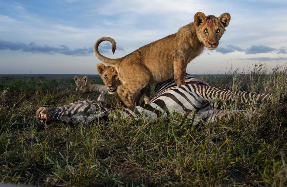 Sư tử diệt sư tử: Cuộc ám sát 3 cắn 1 và sự hồi sinh nghẹt thở của nhà vua - Ảnh 8.