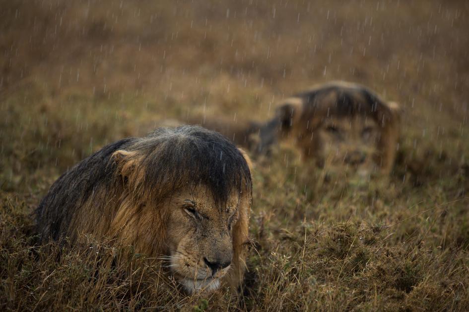 Sư tử diệt sư tử: Cuộc ám sát 3 cắn 1 và sự hồi sinh nghẹt thở của nhà vua - Ảnh 5.